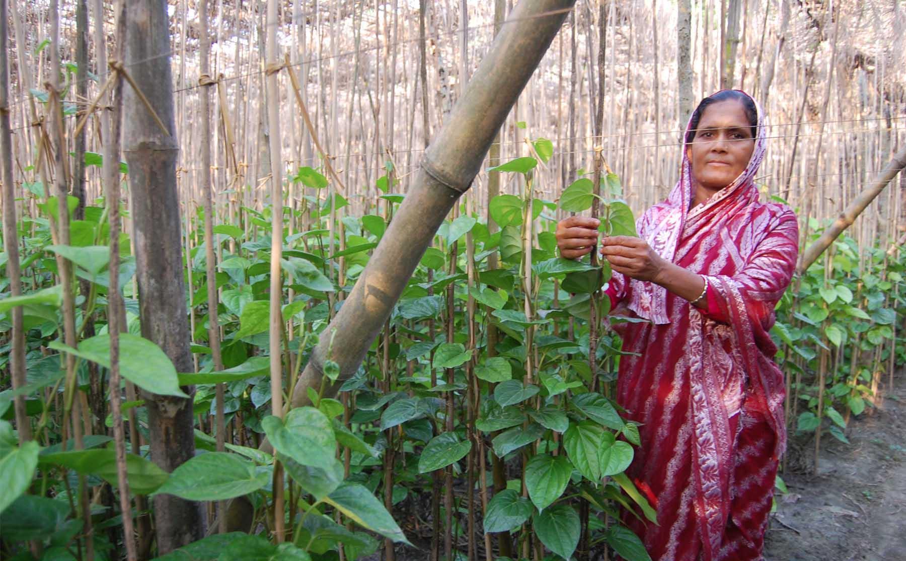 Betel Leaf Cultivation, Sokiron, Horishpur Lalon Sha School Para W.S. Horinakundu, Jhenaidah