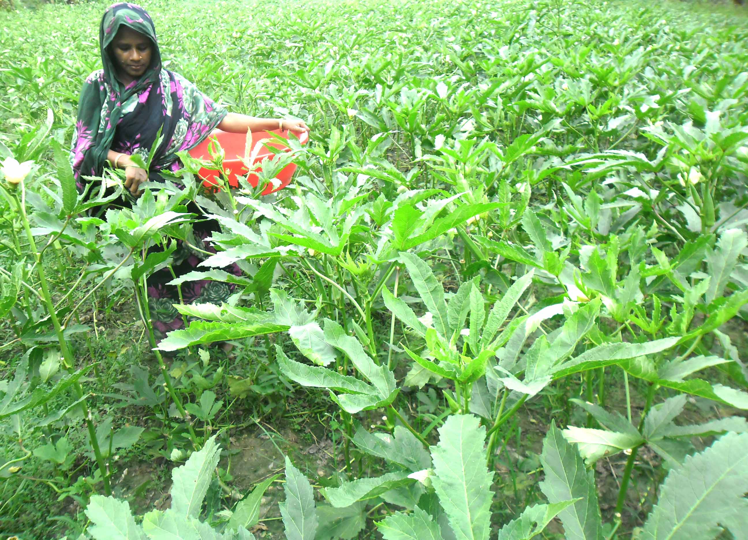 Ladies Finger Cultivation, Rawshana Begum, Kutuba W.S. Burhanuddin, Bhola